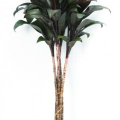 Cordyline Purple Compacta Tops