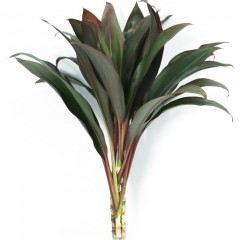 Cordyline Terminalis Red Tops