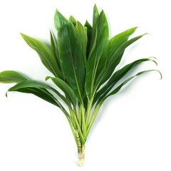 Cordyline Tricolor Green Tops