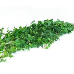 Hedera Ivy Tops