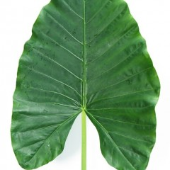 Alocasia Macrorhiza Leaves
