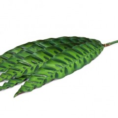 Calathea Insignis Leaves