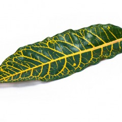 Coadium Croton Leaves