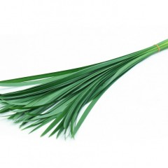 Miscanthus Green Leaves