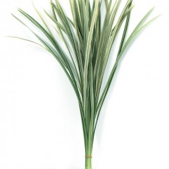 Miscanthus White Leaves