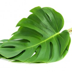 Monstera Deliciosa Leaves