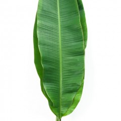 Musa Sapientum Leaves