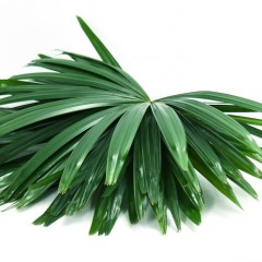 Raphis Excelsa Leaves