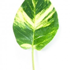 Scindapsus Pothos Leaves