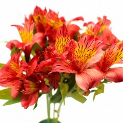 Alstroemeria Flowers (Orange)