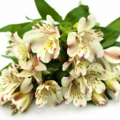 Flowers green goddess pvt ltd alstroemeria flowers white mightylinksfo Gallery