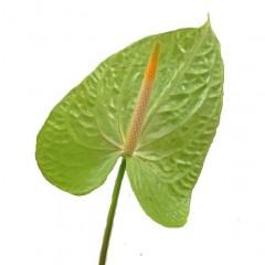 Anthurium Andreanum Green Flowers