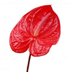 Anthurium Andreanum Red Flowers