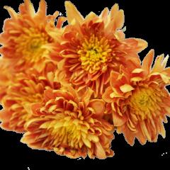 Chrysanthemum Flower (Orange)