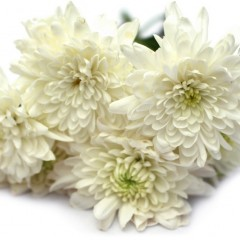 Chrysanthemum Flower (White)