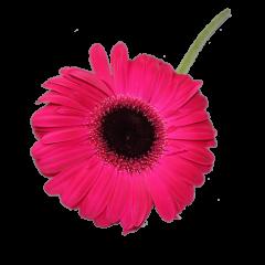 Gerbera Flower (Pink)