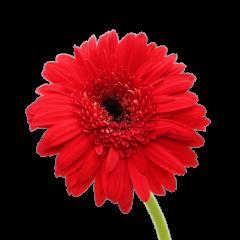 Gerbera Flower (Red)