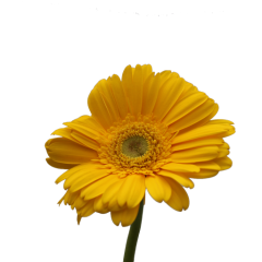 Gerbera Flower (Yellow)