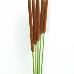 Typha Latifolia Flowers